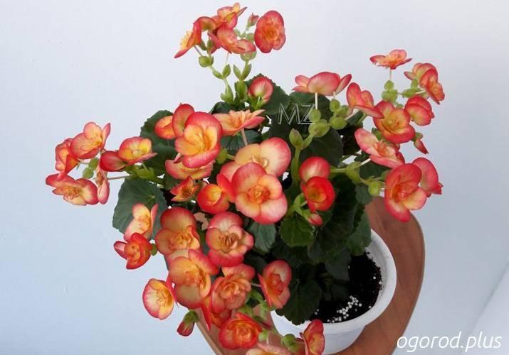 50 фото разных видов и сортов цветка «бегония элатиор», посадка и уход