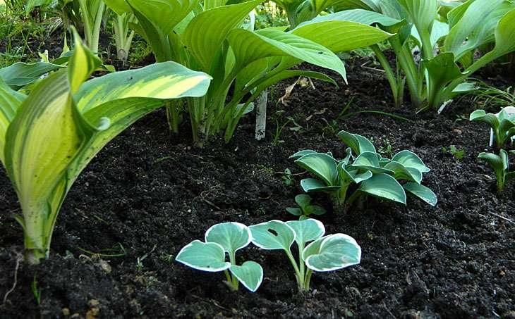 Как посадить хосту- цветок, уход и выращивание в саду в открытом грунте