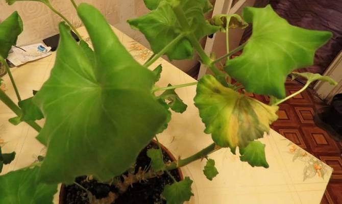 Почему у герани желтеют и сохнут листья