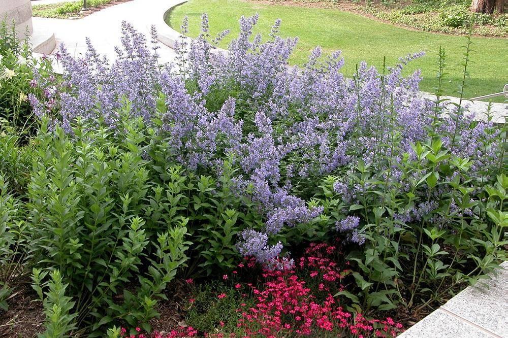 Как выращивать кошачью мяту в саду и на подоконнике - пряные и лечебные травы - 2020