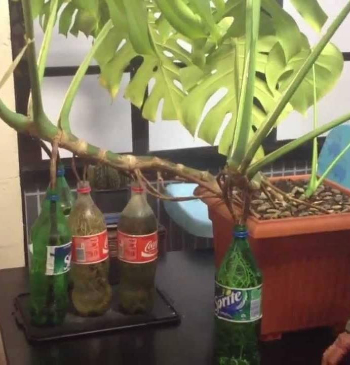 Монстера – уход и размножение в домашних условиях