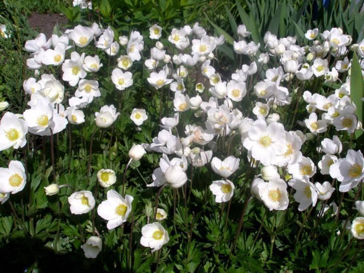 Прелестная ветреница: как вырастить анемоны на дачном участке