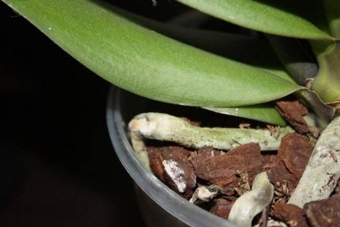 Почему появились черные и белые вредители в цветочных горшках, а также что делать, если в орхидее завелись мошки?