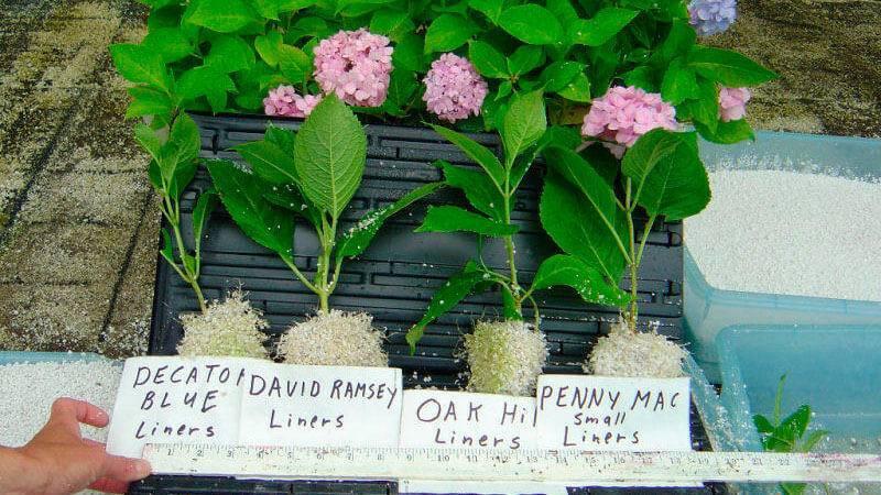 О крупнолистной гортензии никко блю (nikko blue) — особенности сорта и выращивание