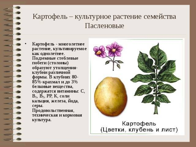 Что посадить в огороде из пасленовых растений