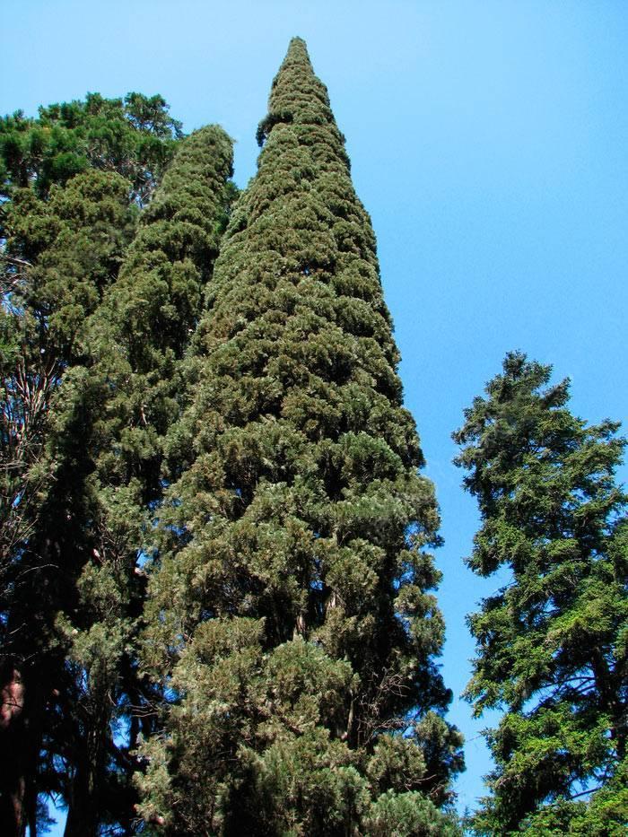 Кипарис описание и особенности