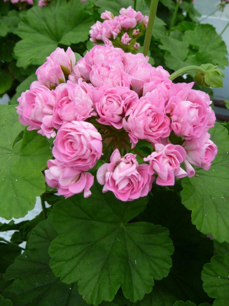 Выращивание пеларгонии австралийский розебуд. возможные болезни цветка и размножение
