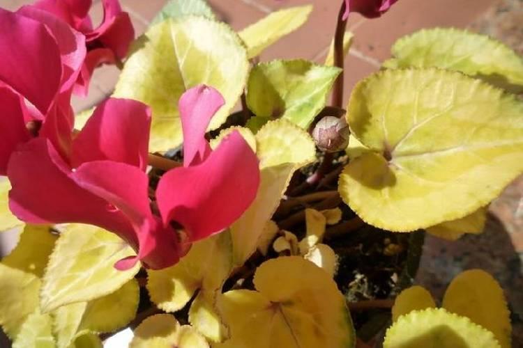 Почему у цикламена желтеют листья и что делать при заболеваниях?