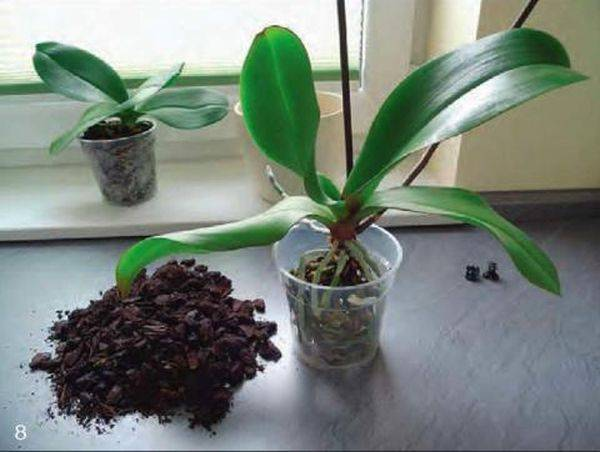 Как продлить цветение орхидеи? особенности ухода за растением