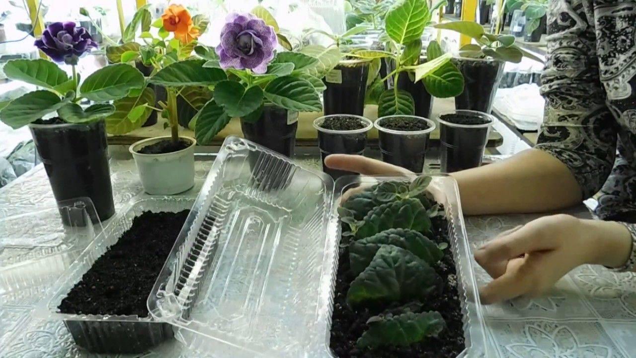 Уход и размножение глоксинии дома