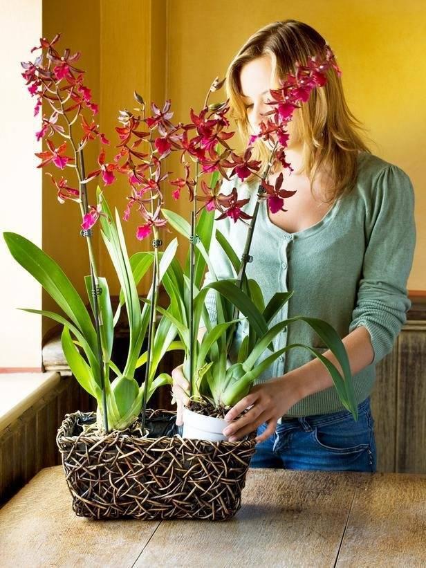 Орхидея не цветёт в домашних условиях: как заставить проснуться прекрасный фаленопсис?