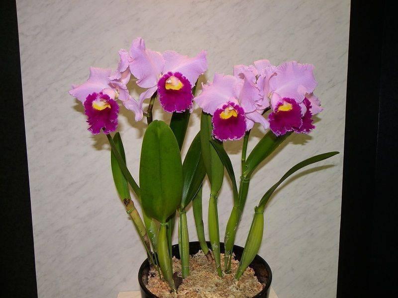 Сколько цветет орхидея – правила ухода