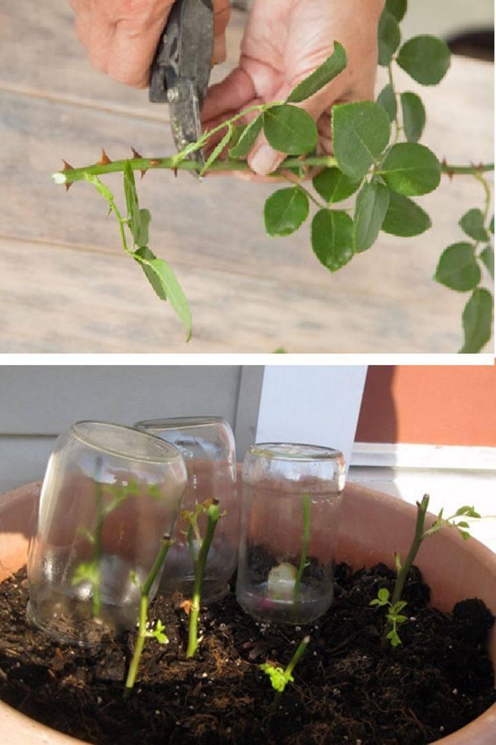Как вырастить розу из черенка дома — проращивание и посадка