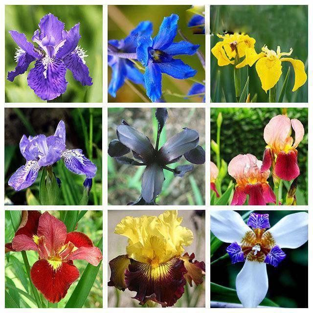 Неприхотливый ирис или радужный цветок: деление, посадка и уход