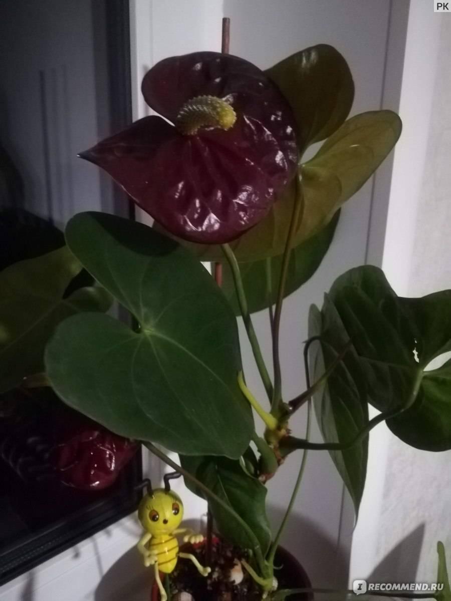 Антуриум черный: ботаническое описание, фото и информация о сортах блэк лав, бьюти, принцесс и не только, правила ухода в домашних условиях, похожие цветы