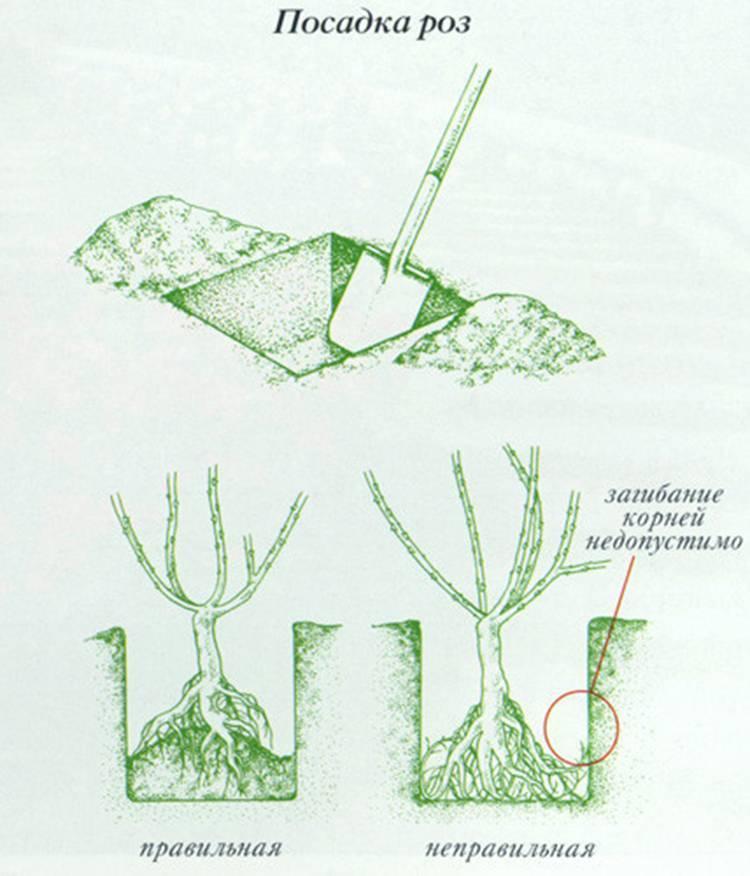 Как правильно посадить розу в открытый грунт?