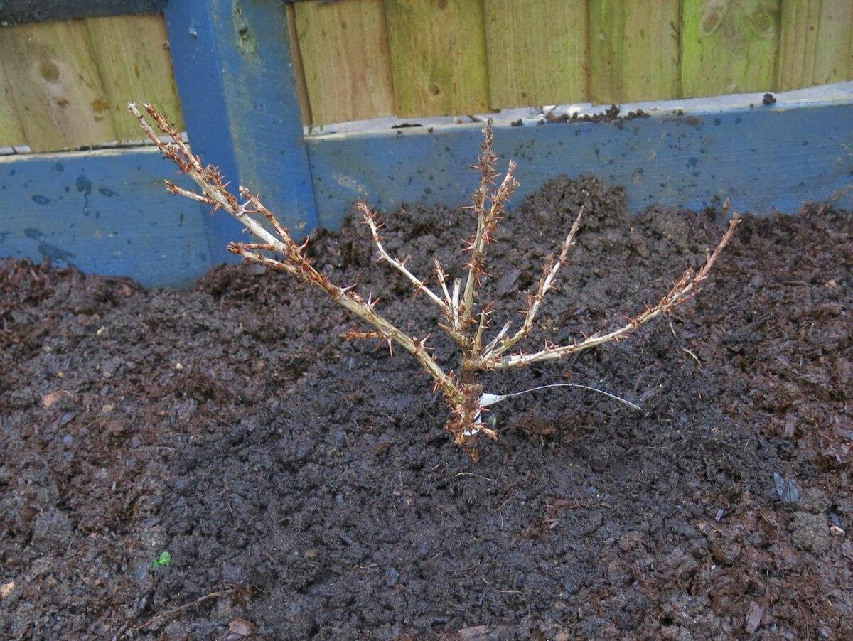 Когда пересаживать крыжовник на новое место: весной или осенью