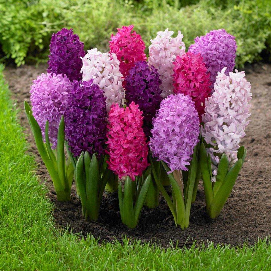 Луковичные цветы-многолетники для сада: фото, названия и описания многолетних садовых растений