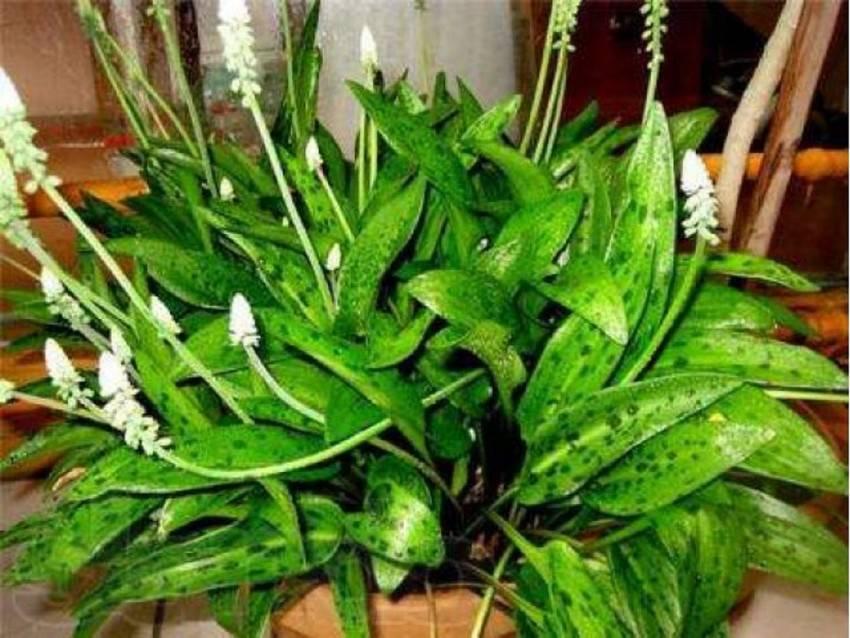 Дримиопсис (37 фото): уход за цветком в домашних условиях. описание дримиопсиса пятнистого, кирка и других видов
