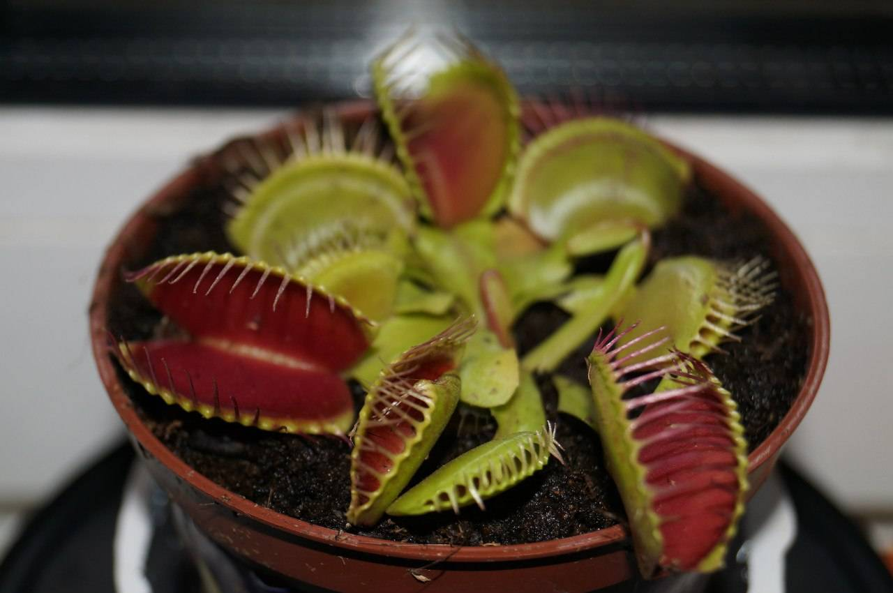 Венерина мухоловка: уход в домашних условиях