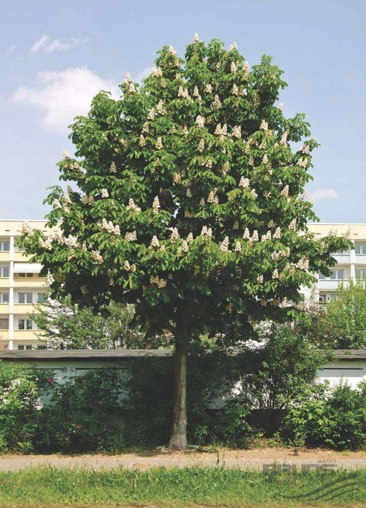 Дерево каштан: описание, особенности выращивания