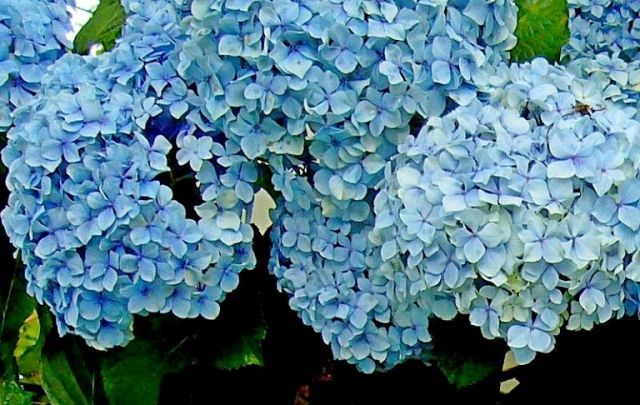 Гортензия меняет цвета: чем поливать гортензию, чтобы она поменяла цвет