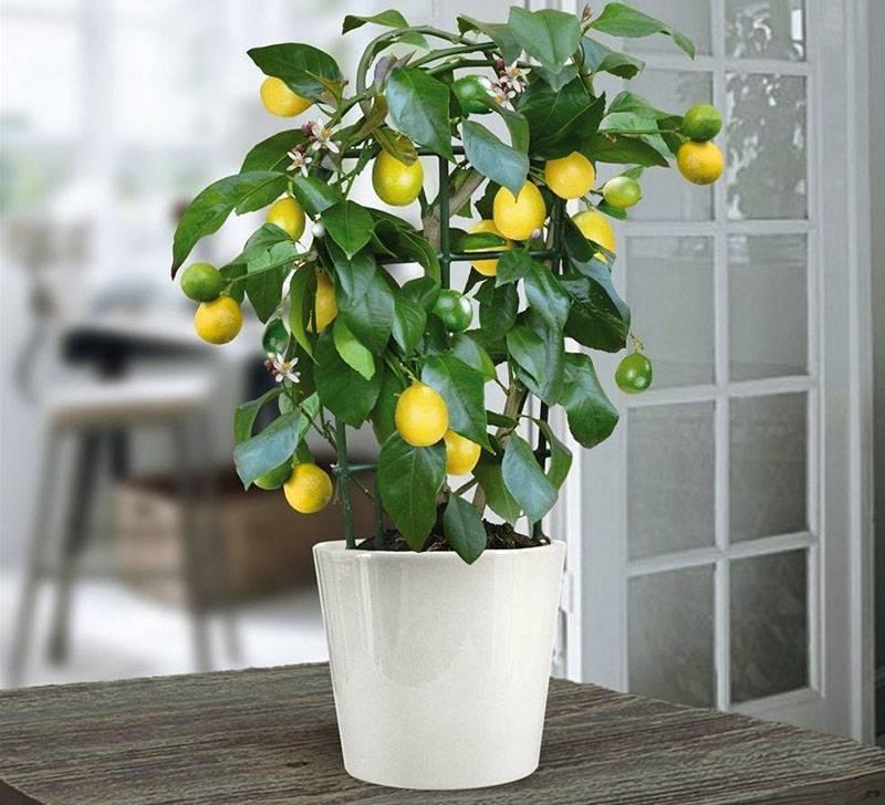 О лимоннике дальневосточном, выращивании и уходе за комнатным растением