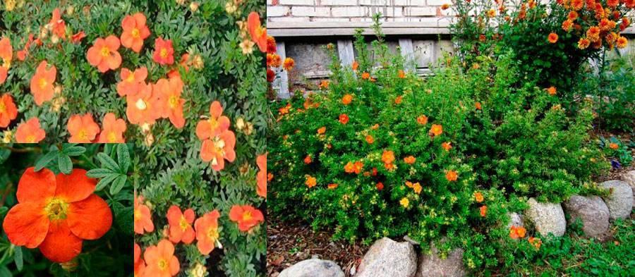 Агротехника лапчатки травянистой в открытом грунте: как ухаживать, удобрять