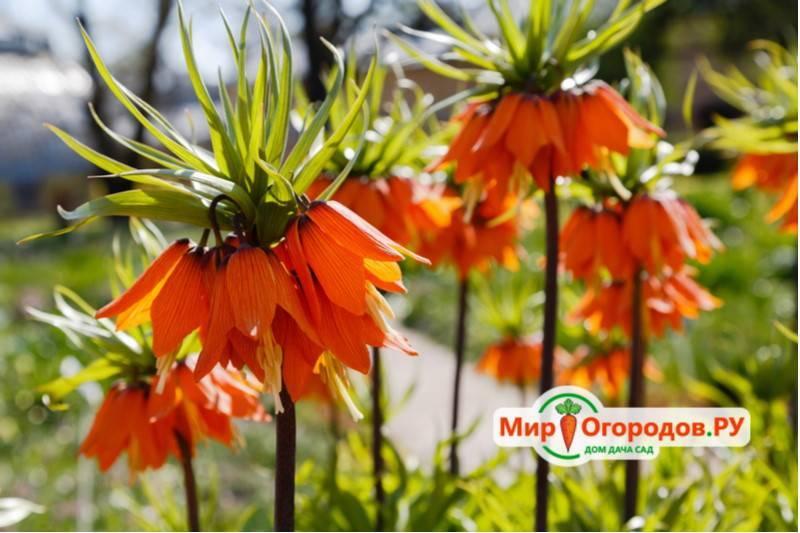 Как можно посадить рябчик в осенний период или весной: особенности