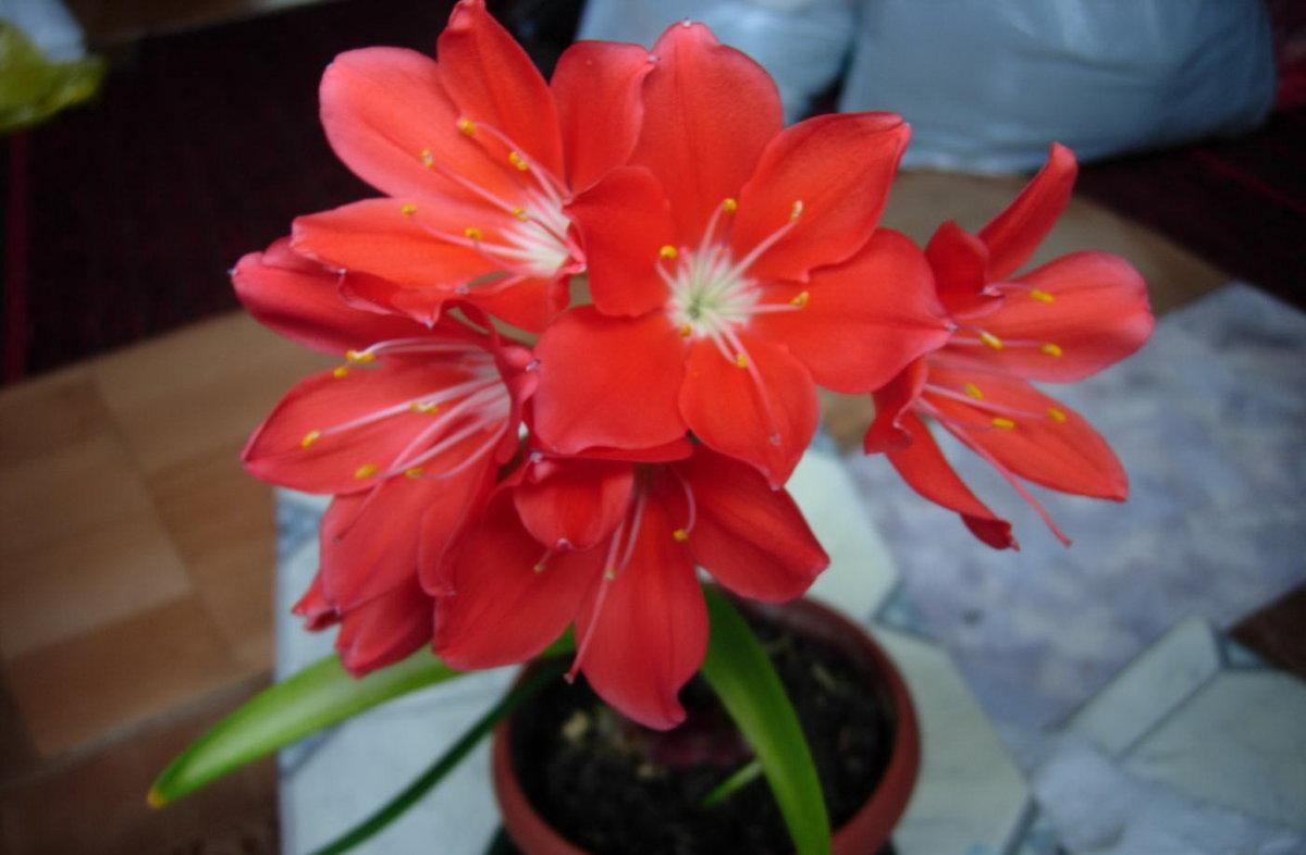 Валлота прекрасная:особенности выращивания, посадки и ухода в домашних условиях, фото