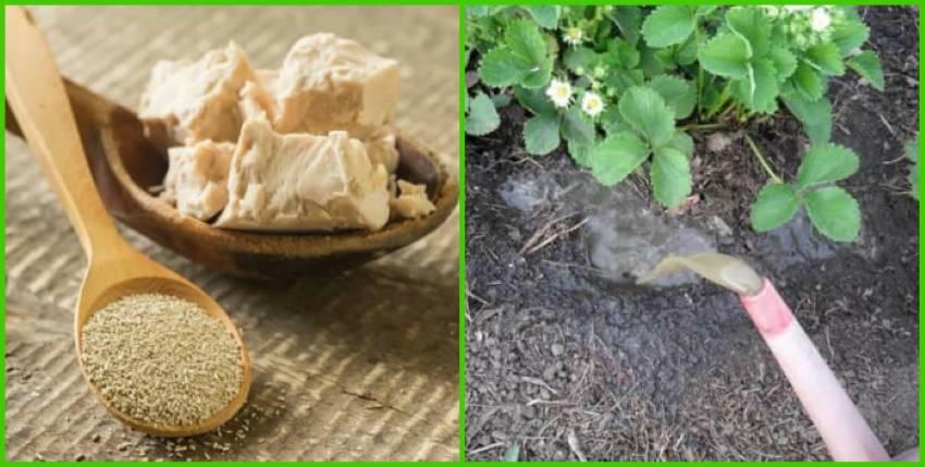 Как подкормить розы дрожжами — можно ли их использовать как удобрение