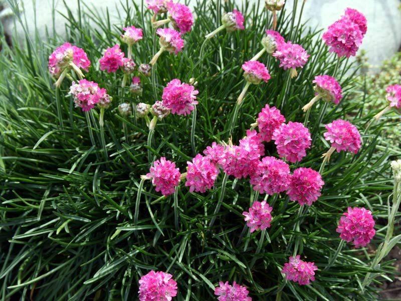 Армерия приморская: описание, посадка и уход, выращивание из семян, фото