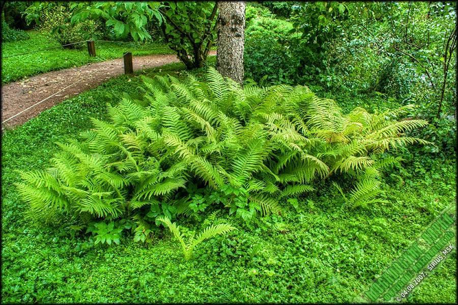Как вырастить и ухаживать за папоротником в саду