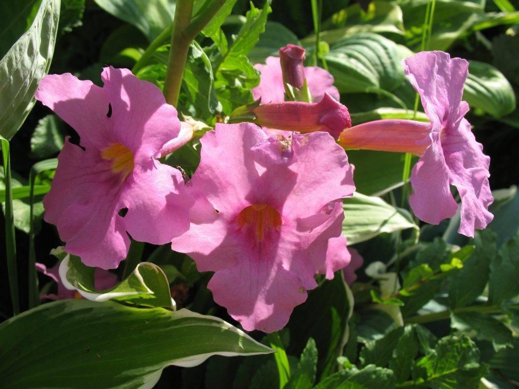 Инкарвиллея: характеристика видов, условия выращивания