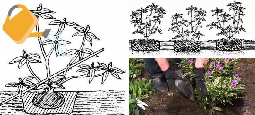 Рододендрон розеум элеганс (roseum elegans)