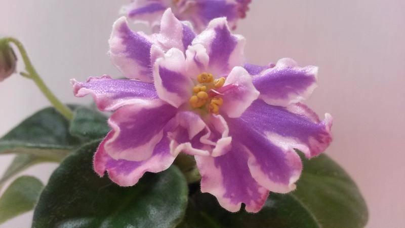 Фиалка комнатная: как ухаживать, размножать и заставить цвети