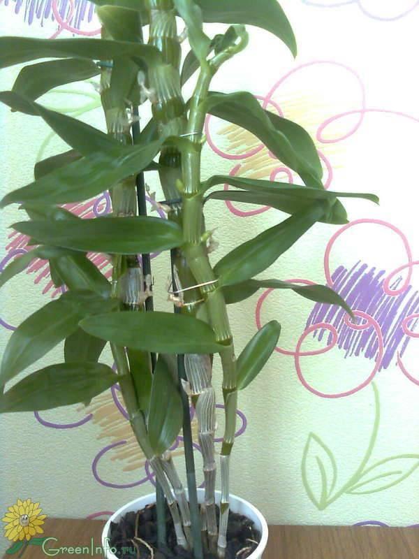 Как правильно обрезать цветонос орхидеи после цветения и нужно ли это делать?