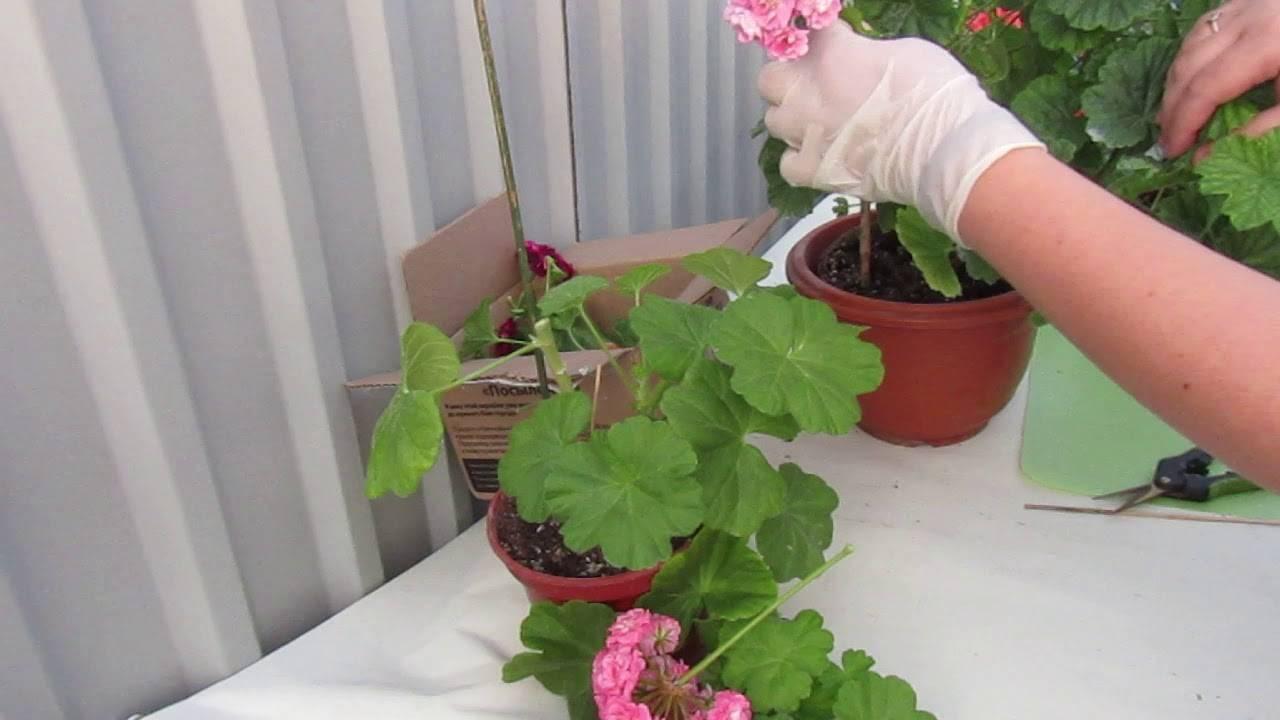 Что такое обрезка герани для пышного цветения и как ее правильно делать? основные правила формирования куста