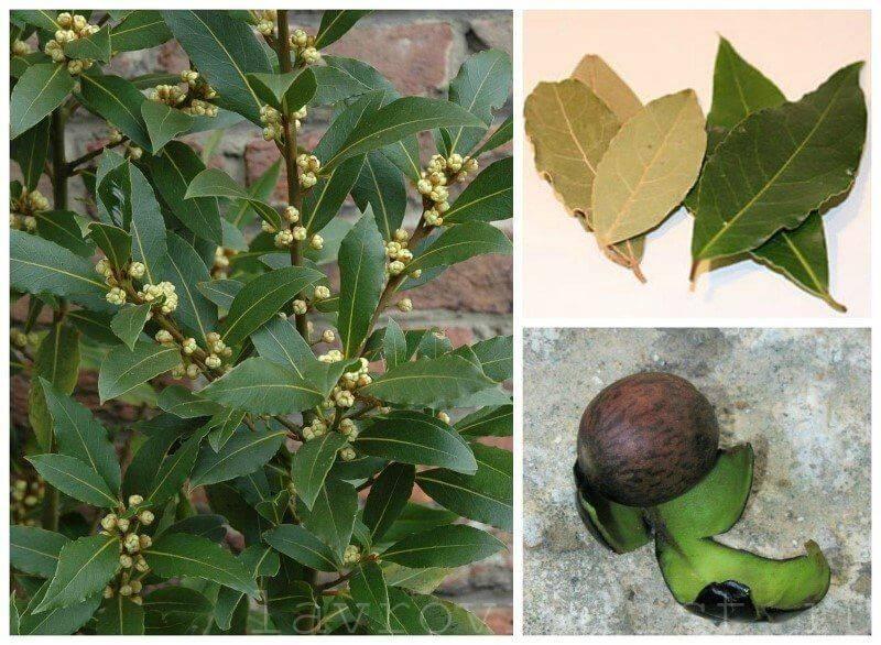 Лавровый лист, выращивание в домашних условиях, особенности ухода