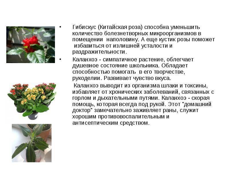 Лечебные свойства и противопоказания каланхоэ