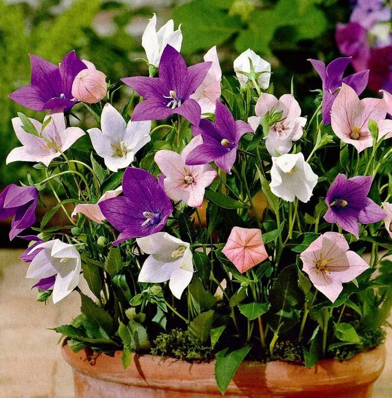 Платикодон -  выращивание и сорта садового колокольчика.