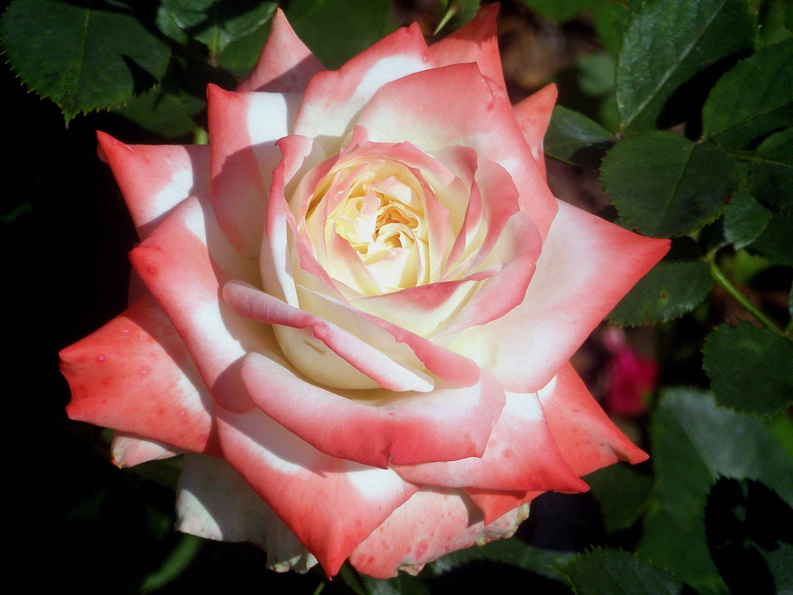Роза чг беролина — описание сорта и особенности ухода