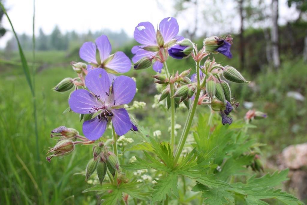 Лечебные свойства и противопоказания луговой герани: польза и вред этого полевого растения, а также правила внутреннего и наружного применения препаратов из него