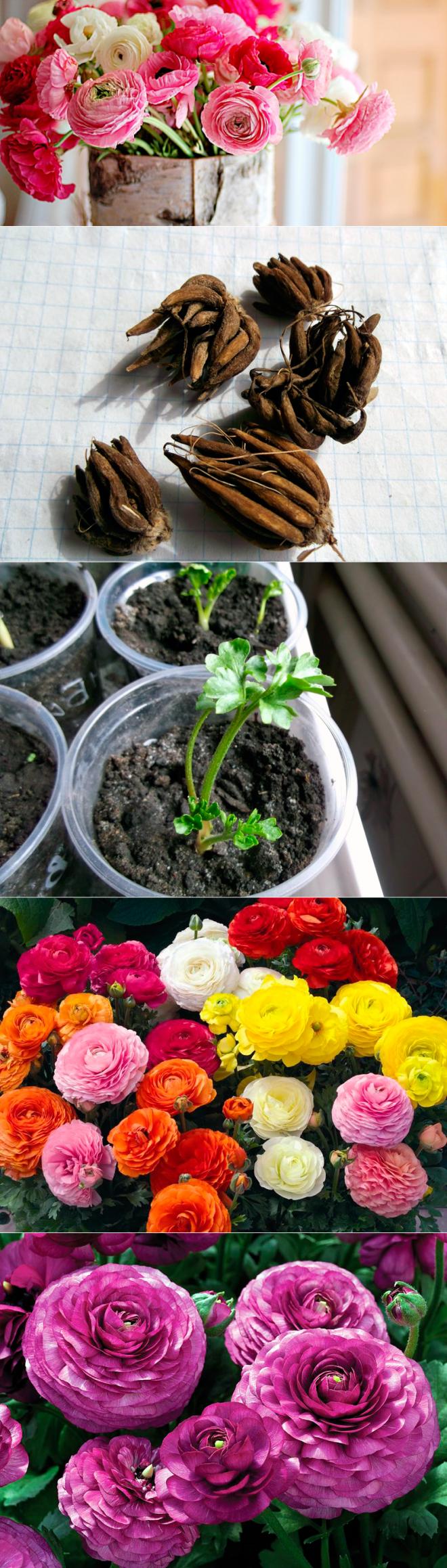 Как вырастить лютики из семян?