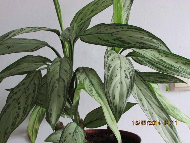 Названия цветков комнатных с длинными узкими листьями, с пятнистыми или пестрыми