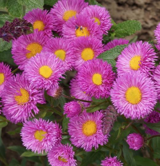 Цветок мелколепестник: описание видов, посадка и уход - энциклопедия цветов