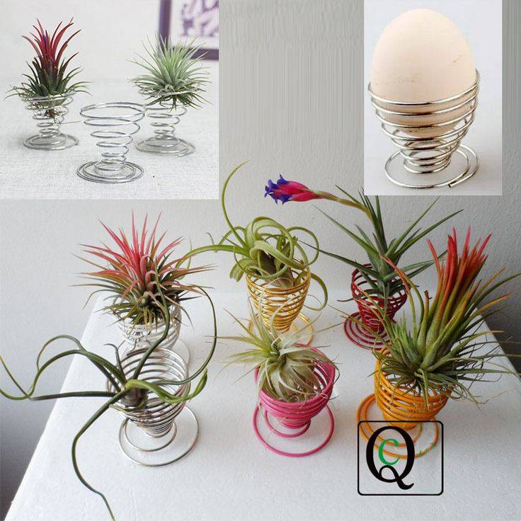 Тилландсия «анита» (21 фото): уход за цветком в домашних условиях, цветение и пересадка цианеи после покупки