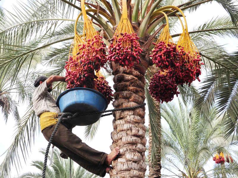 Плоды финики — дерево плодоносящее в домашних условиях - pocvetam.ru