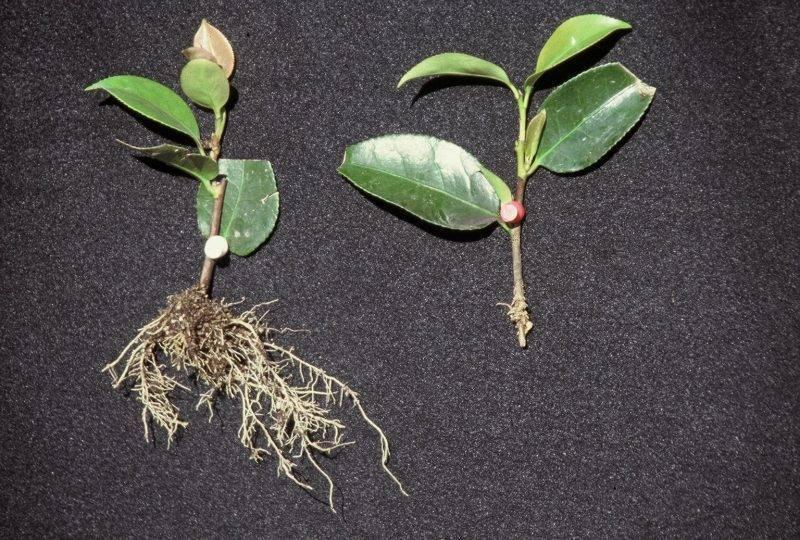 Фикус пумила (26 фото): особенности карликового фикуса, уход за растением в домашних условиях и правила размножения