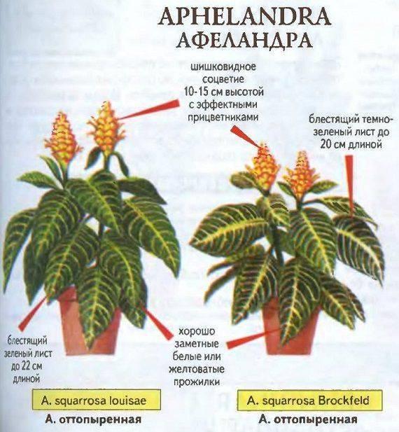 Цветок афеландра — уход в домашних условиях